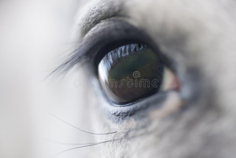 Trusty глаз лошади стоковые фотографии rf