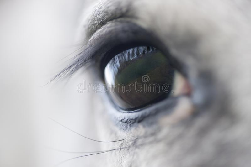 Trusty Horse Eye. A close-up of a beautiful horse eye is depicted in this image. The light color of the horse contrast nicely with the dark eye royalty free stock photos