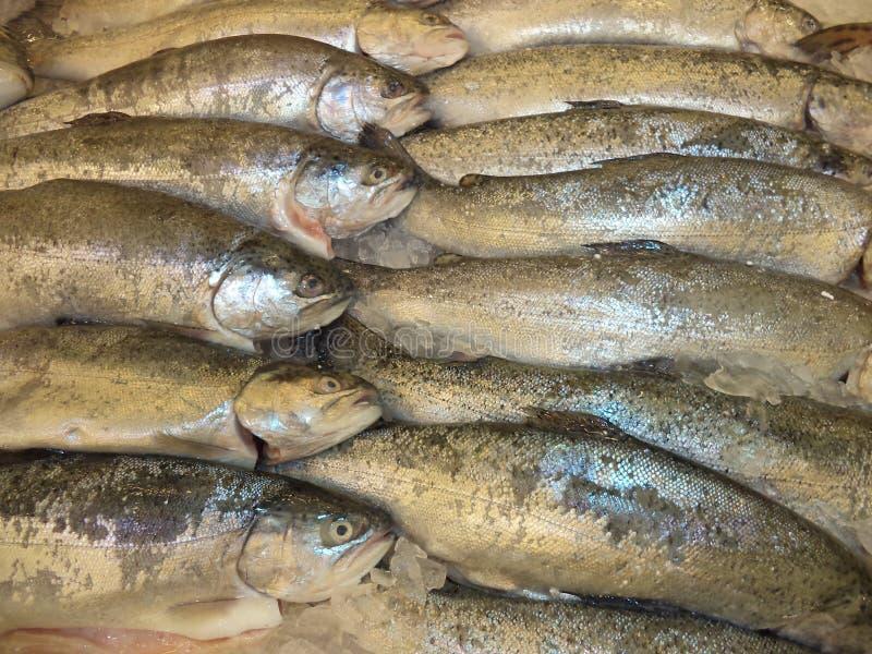 Truta arco-?ris congelada fresca dos peixes imagem de stock royalty free