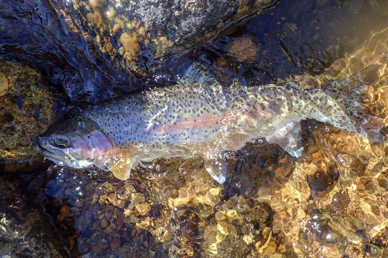 Truta arco-íris selvagem travada em Rocky Mountains foto de stock
