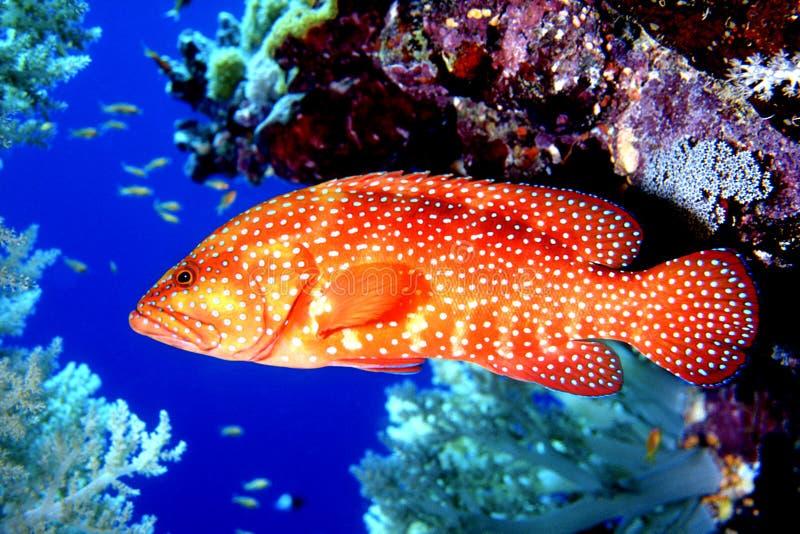 Truta coral imagens de stock royalty free