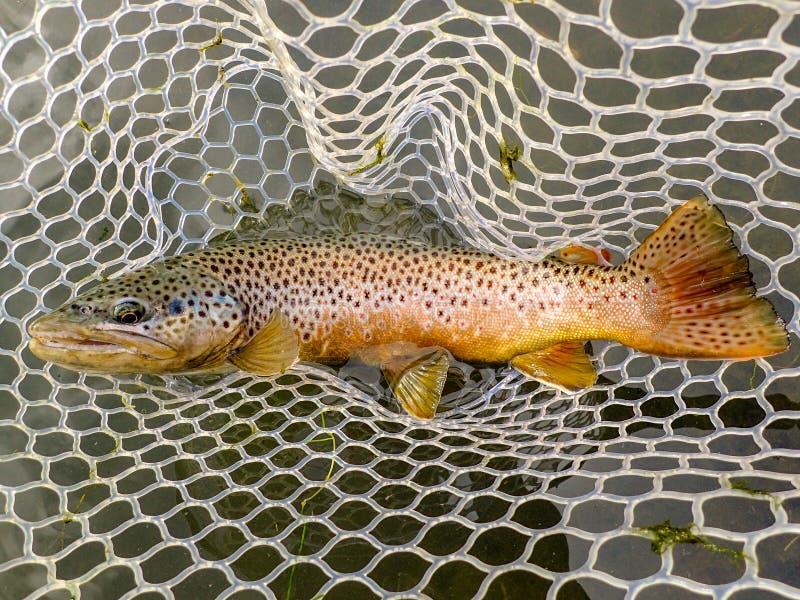 A truta marrom selvagem travou e liberou-se no rio de Owyhee, Oregon imagens de stock royalty free