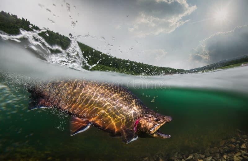 Truta, vista subaquática fotos de stock royalty free
