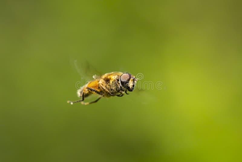 Truteń komarnicy Eristalis Tenax insekt w locie na słonecznym dniu fotografia stock