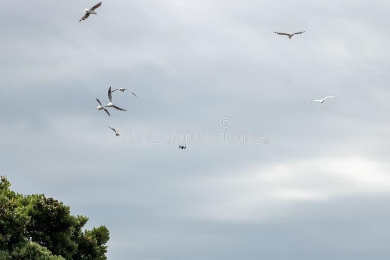 Truteń Ucieka Od Seagulls zdjęcie stock