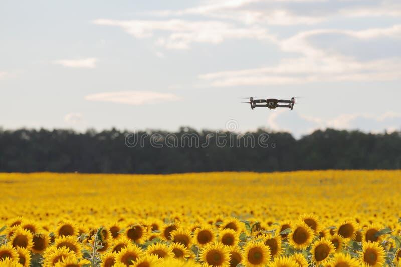 Truteń unosi się nad słonecznika polem w jasnym niebieskim niebie częsciowo chmurniał obrazy stock