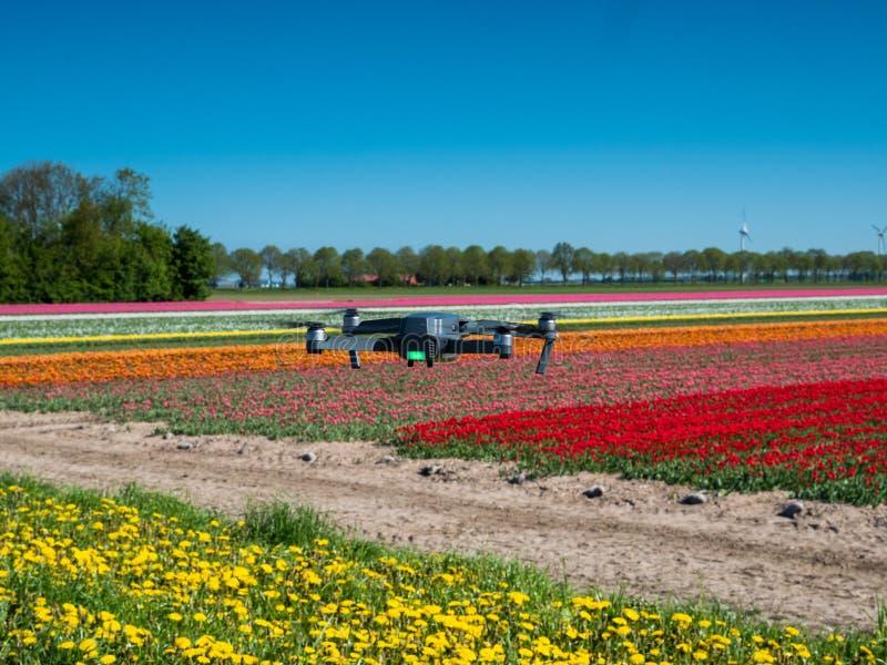 Truteń unosi się nad tulipanowym polem obrazy royalty free