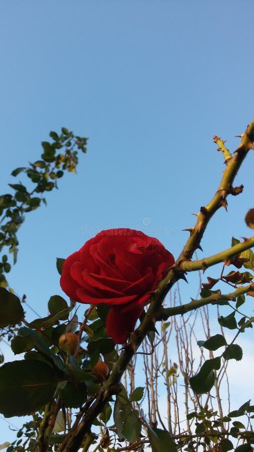 Trwa, czerwieni róża obraz stock