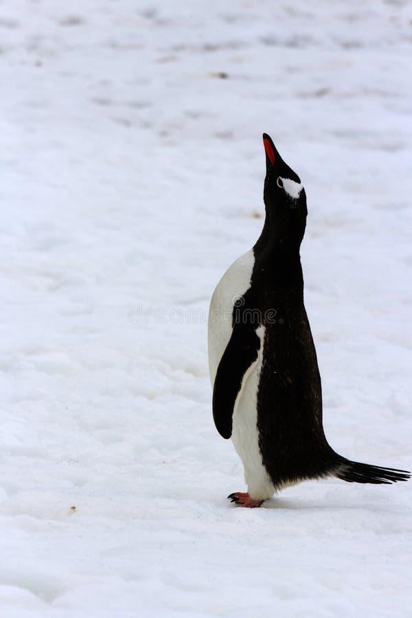 Trwanie dorosły gentoo pingwin zdjęcia royalty free