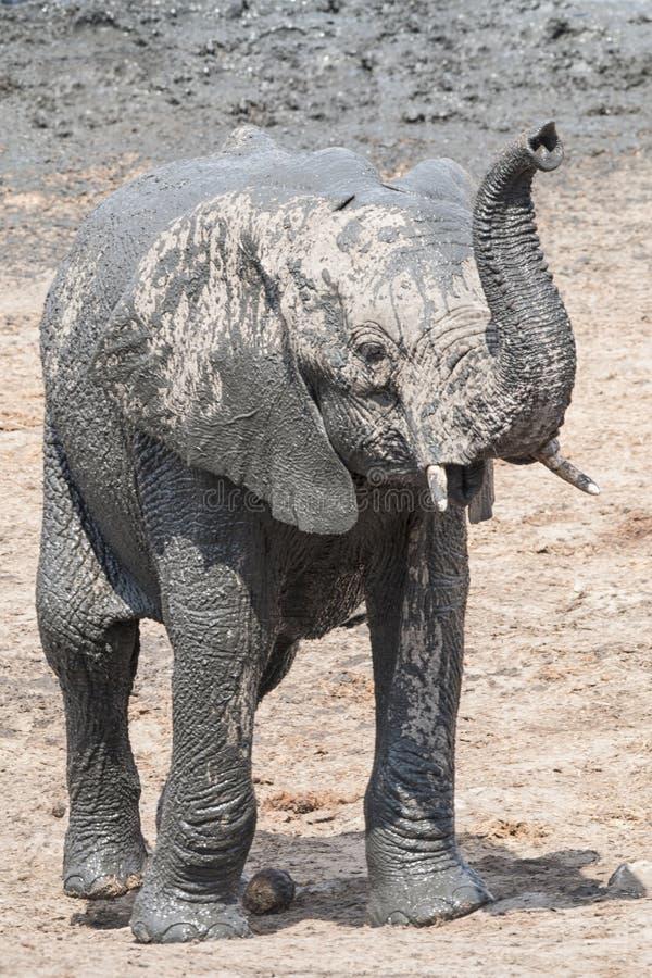 Trwanie młoda słoń łydka z nastroszonym bagażnikiem obrazy royalty free