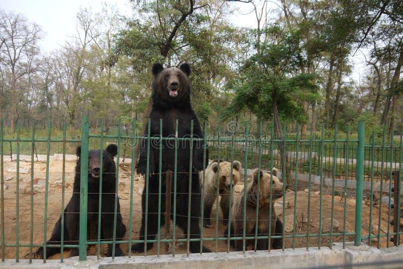 Trwanie niedźwiedź i inni niedźwiedzie w zoo obraz stock
