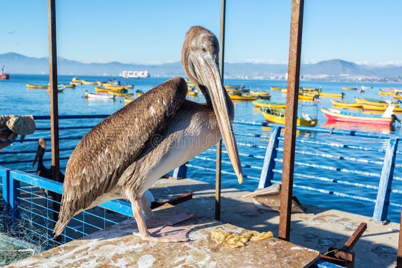 Download Trwanie pelikan w Coquimbo zdjęcie stock. Obraz złożonej z chile - 41952408