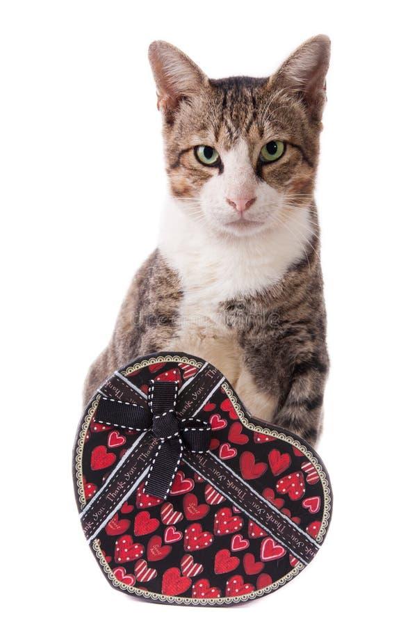 Trwanie popielaty kot z prezenta pudełkiem odizolowywającym w bielu zdjęcie royalty free