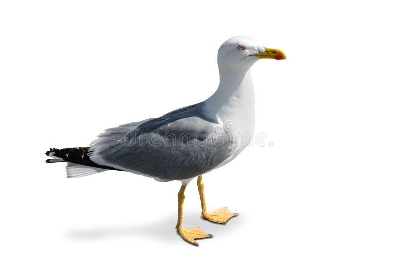 Trwanie seagull obrazy stock