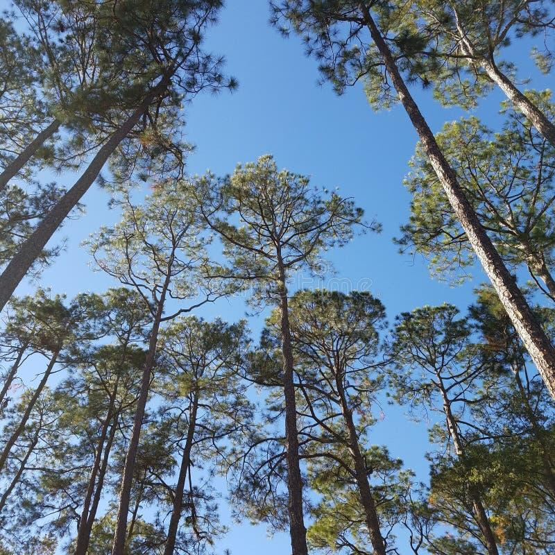 Trwanie wysoki - piękni drzewa obraz stock