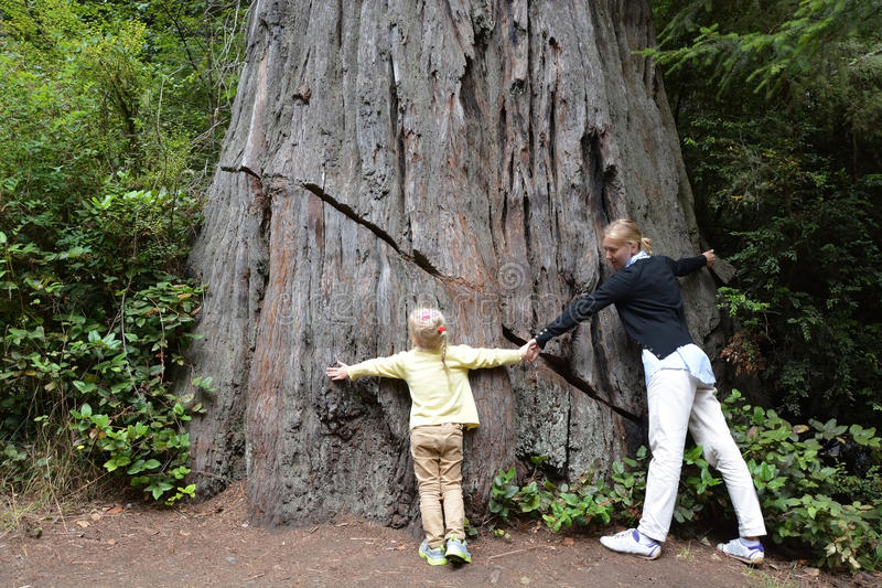 Try to embrace giant sequoia stock photo