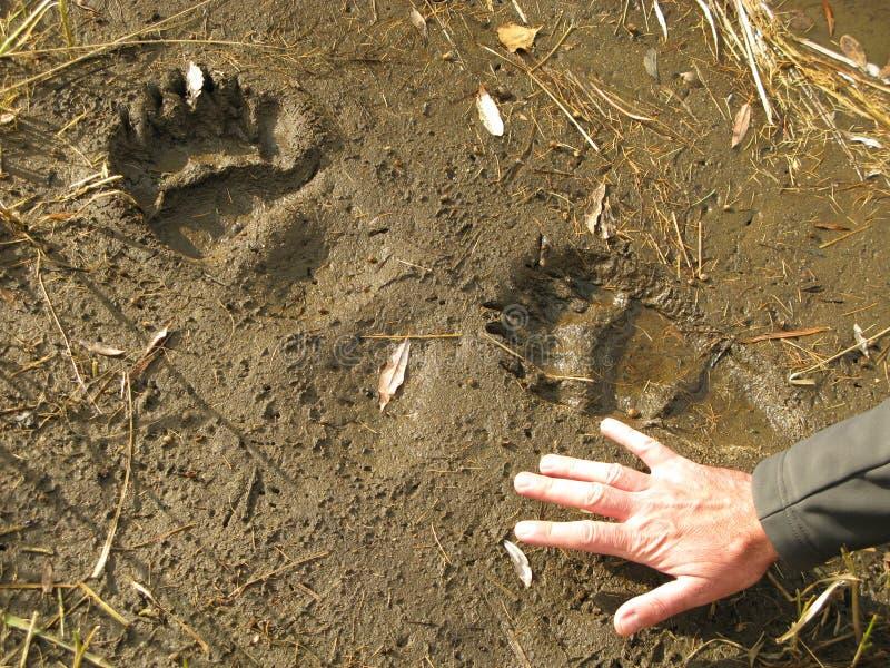 tryck för bana för björnfotgrizzly royaltyfri foto