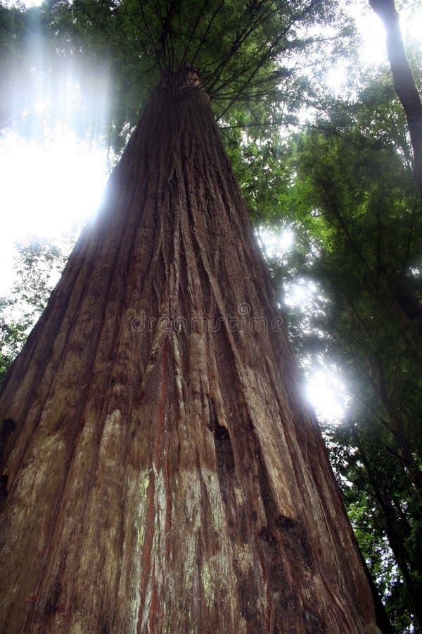 Tryckning av solljus i redwoodträden royaltyfri bild