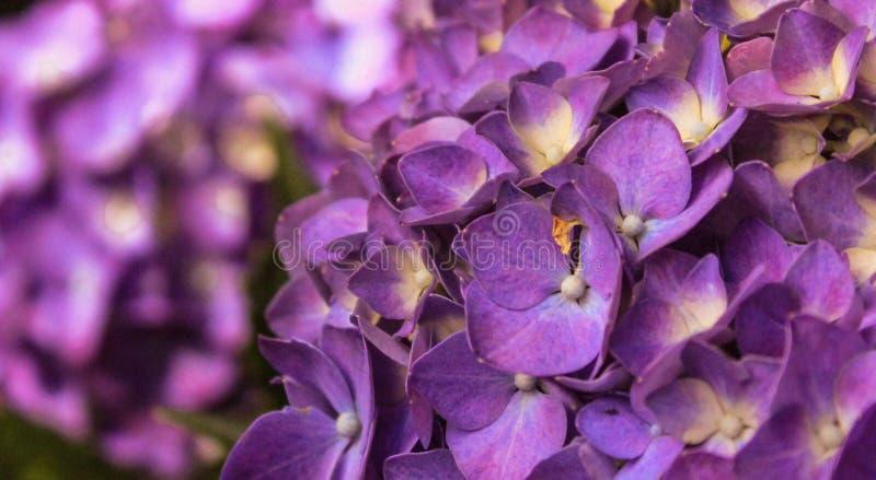 Tryckvågor av lilor arkivfoto