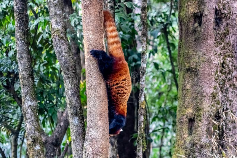 Trying to escape a red panda. A beautiful creature in earth. The red panda is a mammal native to the eastern Himalayas and southwestern China stock photo