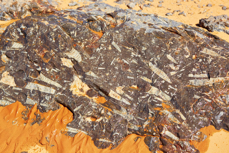 Trylobit kamienne skamieliny w saharze zdjęcia stock