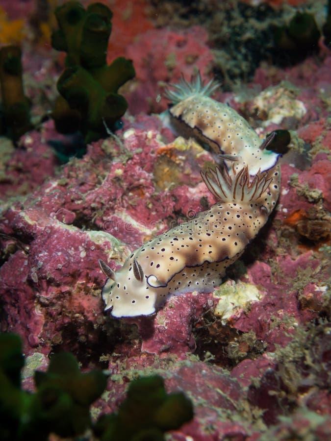 Tryoni Nudibranch - Risbecia stockfotos