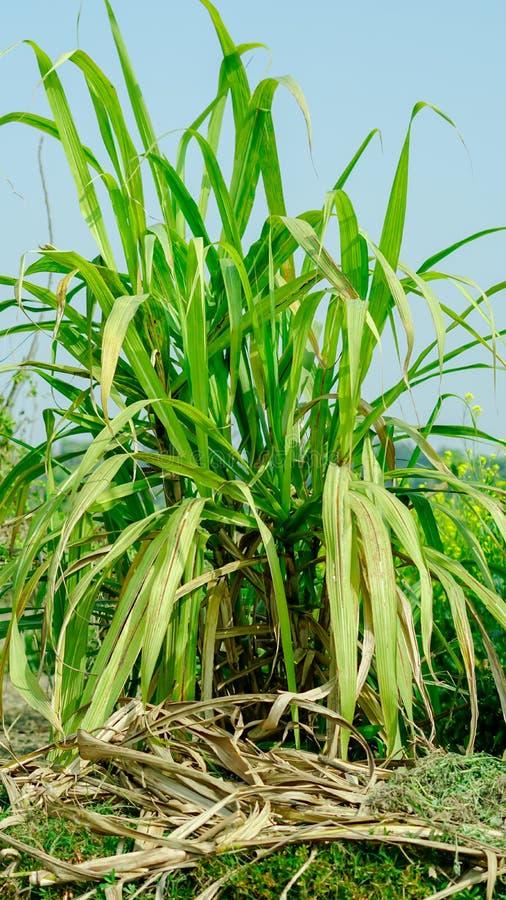 trzcina cukrowa uprawia ziemię z widocznym obrazy royalty free