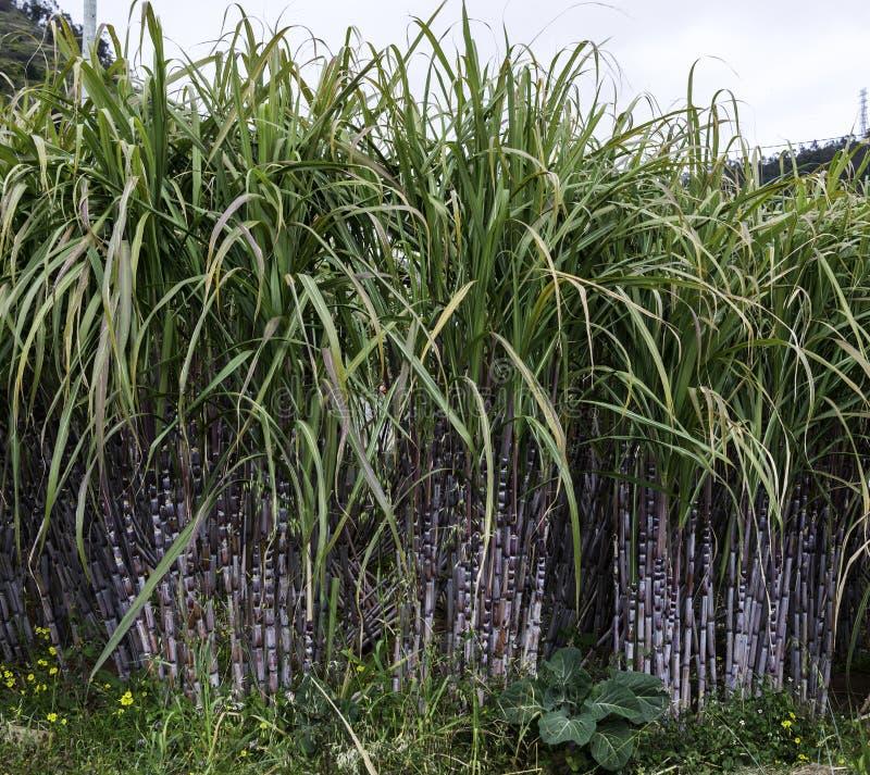 trzcina cukrowa w naturze na Madeira fotografia royalty free