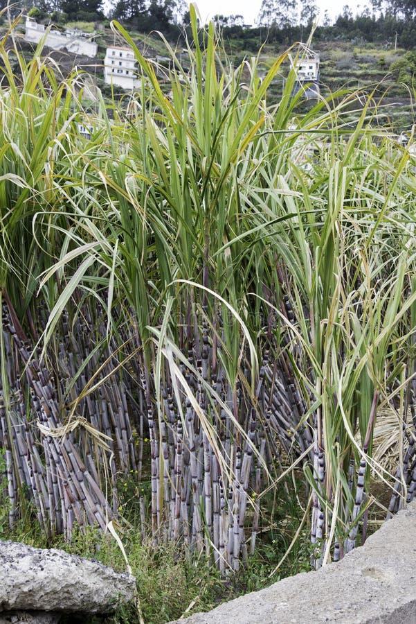 trzcina cukrowa w naturze na Madeira obrazy royalty free