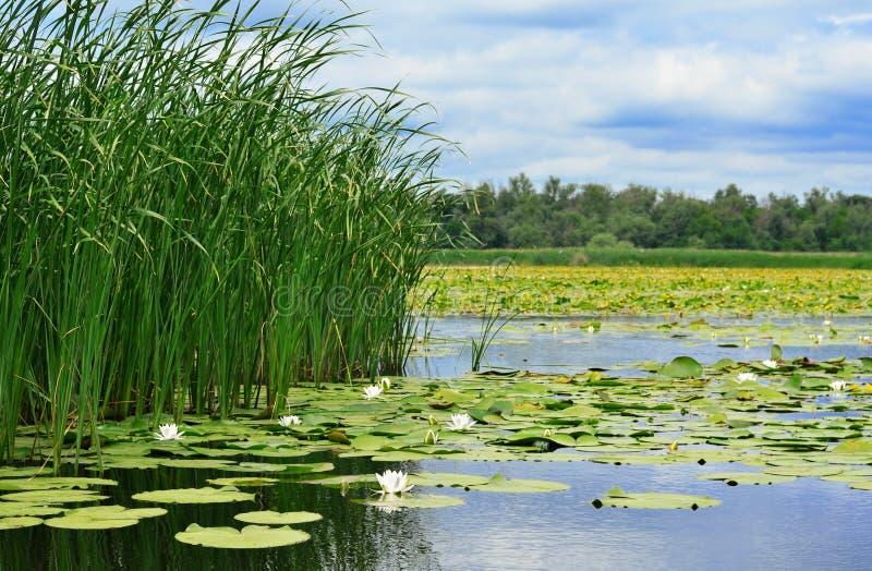 Trzcina i leluje na jeziorze obraz stock