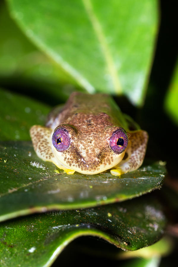 Trzcinowi żab oczy zdjęcia royalty free