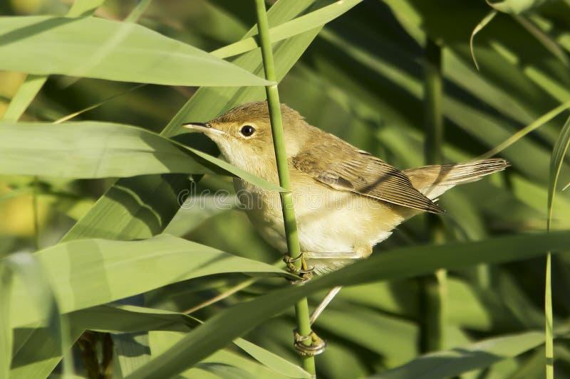 Trzcinowy warbler zakończenie, Acrocephalus scirpaceus/ zdjęcia royalty free