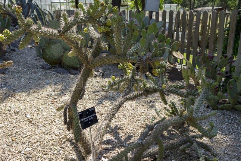 Trzciny chorei kaktus w parku Słoneczny dzień fotografia royalty free