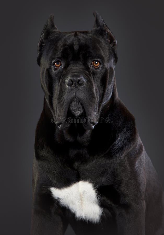Trzciny corso pies zdjęcie royalty free