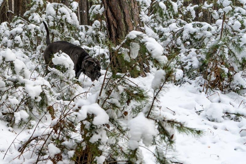 Trzciny corso pies iść przez zima lasu zdjęcia royalty free