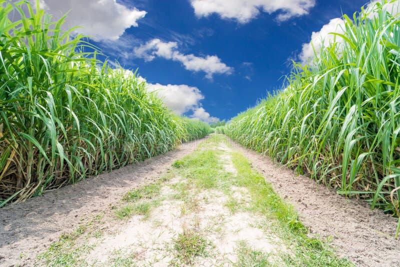 Trzciny cukrowa pole zdjęcie royalty free
