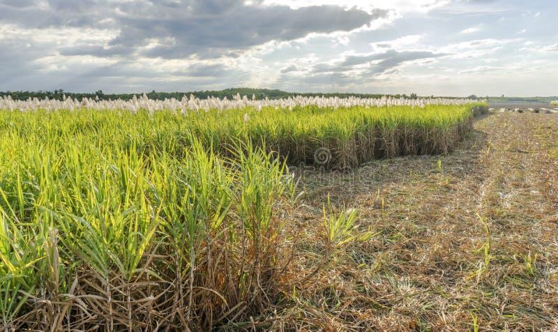 Trzciny cukrowa pole, Tay Ninh prowincja, Wietnam fotografia royalty free