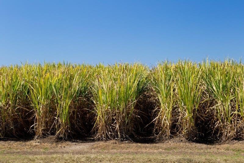 Trzciny Cukrowa uprawa w śródpolnym przygotowywającym dla żniwa zdjęcie stock