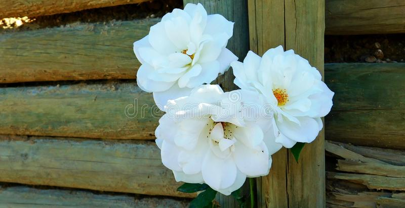 trzech białych róż zdjęcia stock