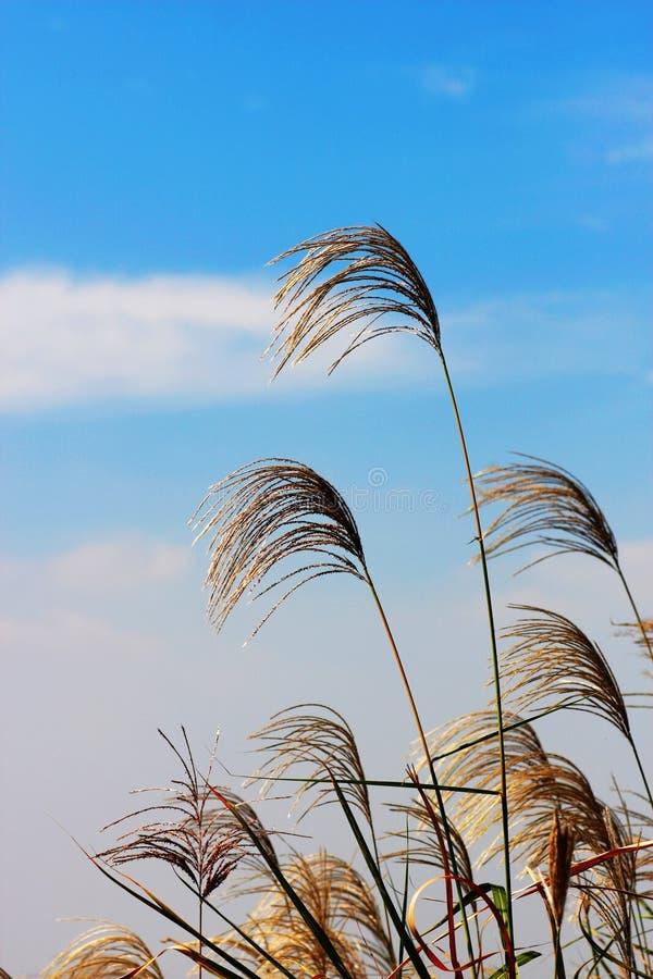 Trzepotliwa płocha i niebieskie niebo obrazy stock