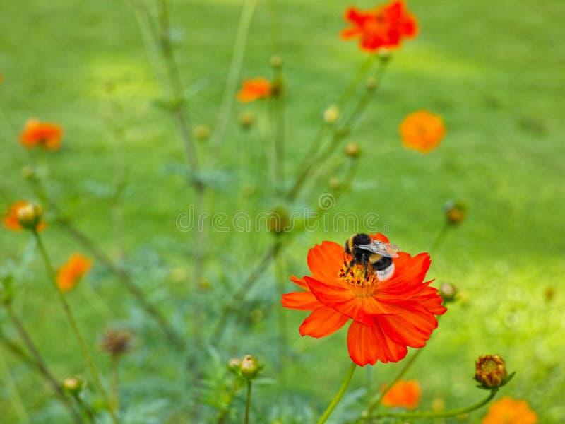 Trzmiel na rewolucjonistki Cosmea kwiacie w zieleń ogródzie obraz stock
