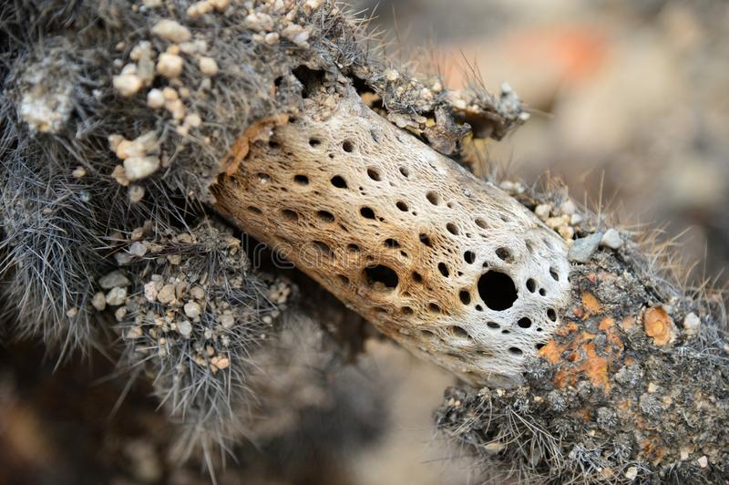 Trzon kaktus w Joshua drzewa parku narodowym obraz stock