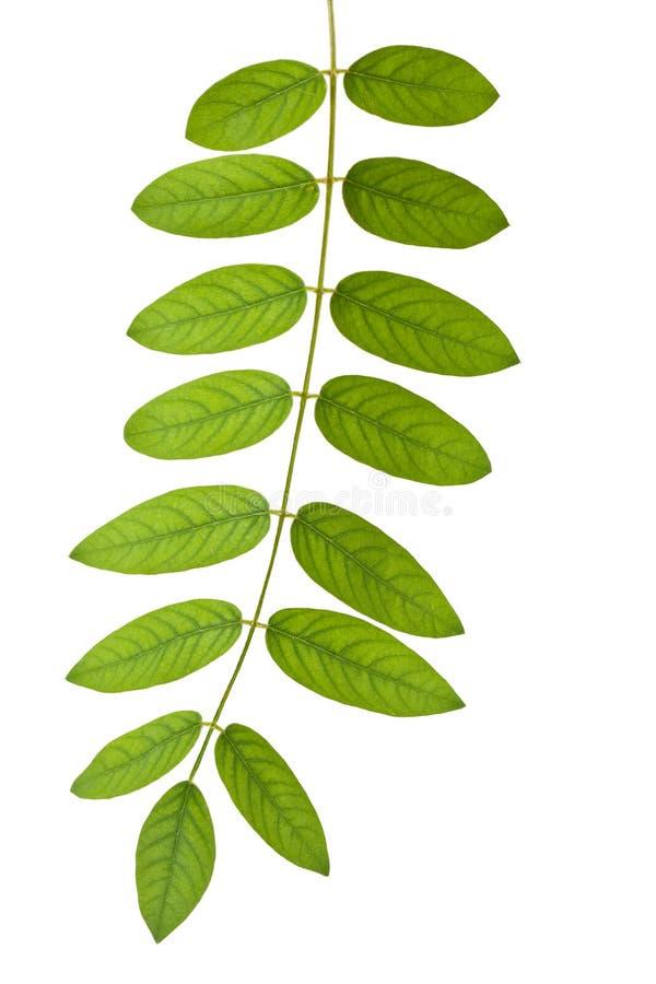 Trzon z zielonymi liść obraz stock