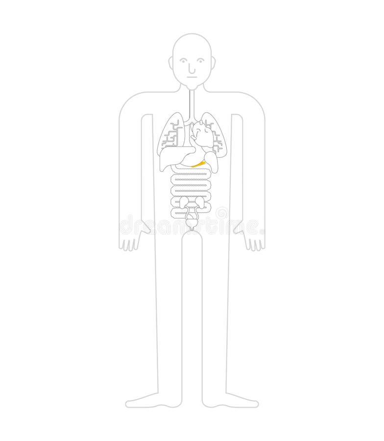 Trzustki istoty ludzkiej anatomia organy wewnętrzne Systemy mężczyzny ciało i ilustracja wektor
