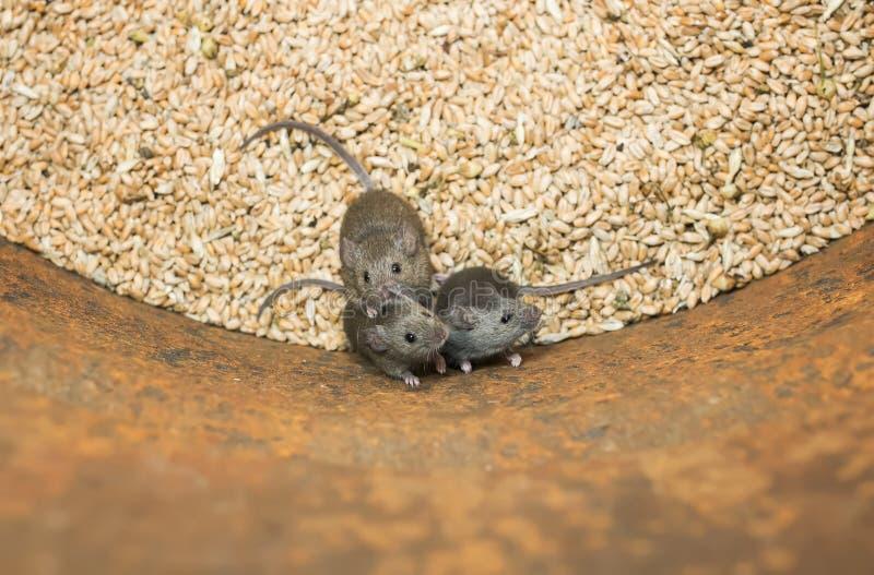 Trzy śmiesznych ślepuszonek małej szarej myszy siedzą w baryłce z zapasem pszeniczne adra, psują żniwo i patrzeją w górę straszą, zdjęcie stock
