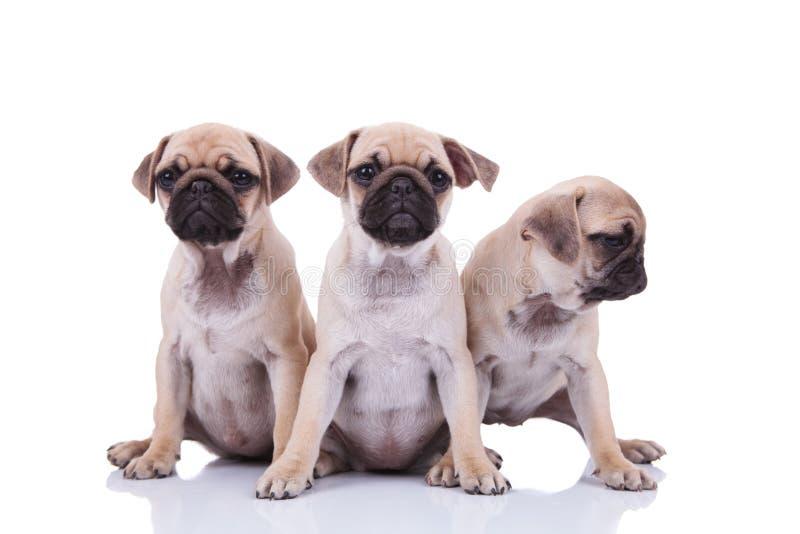 Trzy ślicznego posadzonego mopsa szczeniaka patrzeje popierać kogoś z jeden obraz stock