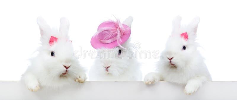 Trzy śliczny biały królik - odosobniony zdjęcia royalty free