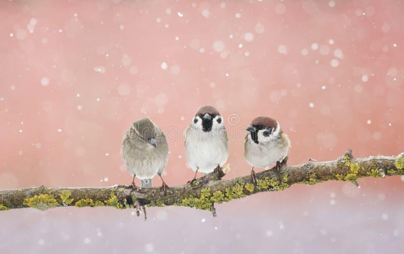 Trzy śmiesznego małego Wróbliego ptaka siedzi na gałąź w parku obraz royalty free