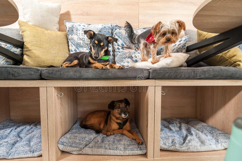Trzy śmiesznych ślicznych psów ex zaniechany bezdomny adoptujący dobrymi ludźmi i ma zabawę na poduszkach w zwierzę domowe sklepi obraz stock