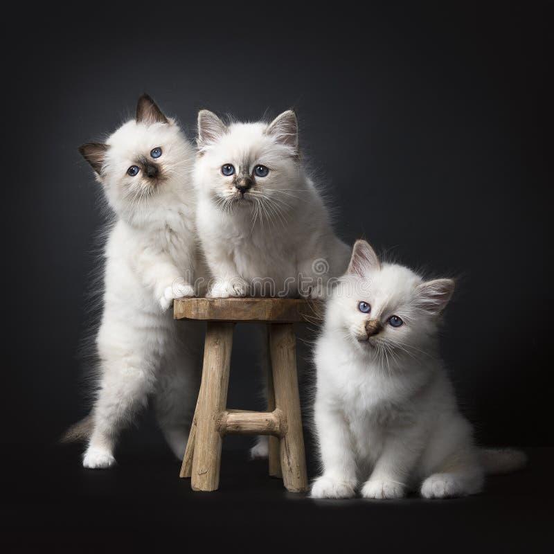 Trzy Świętej Birman figlarki na drewnianej stolec wokoło i odizolowywali na czarnym tle stawia czoło kamerę zdjęcie stock